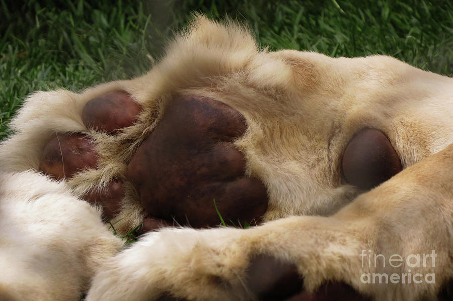 Lion Photograph - Lions Feet by Mary Mikawoz