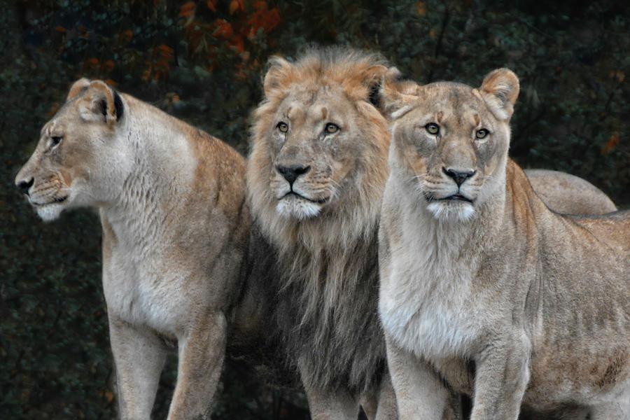 Lions Photograph