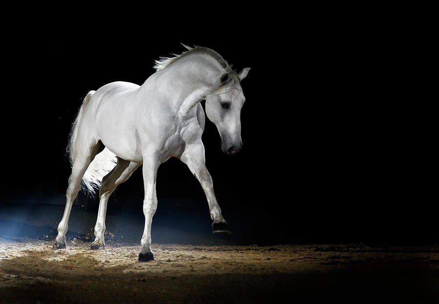 Lipizzaner Horse Playing Photograph by Somogyvari