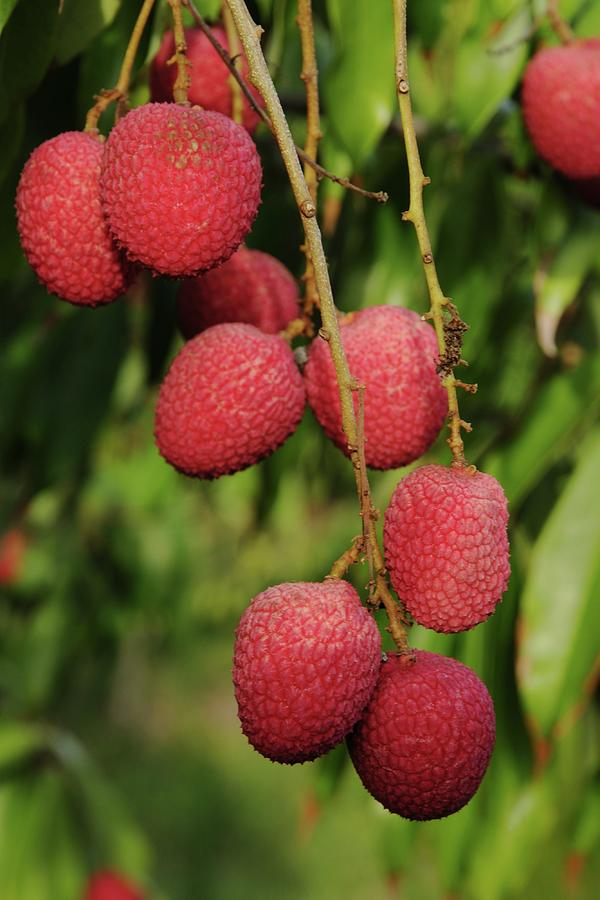 Litchi Fruit on Tree by Bradford Martin