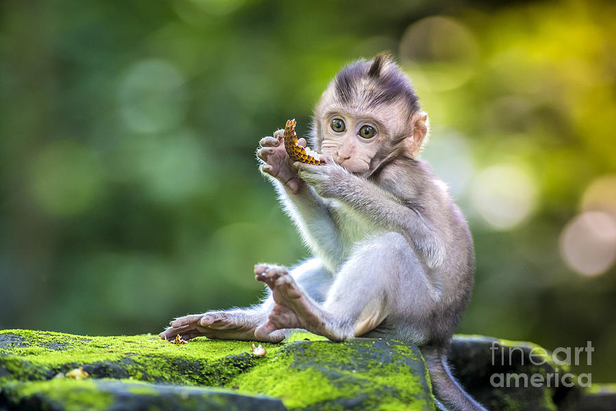 Small Photograph - Little Baby-monkey In Monkey Forest Of by Trubavin