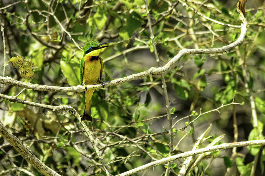 Little Bee Eater by Kay Brewer