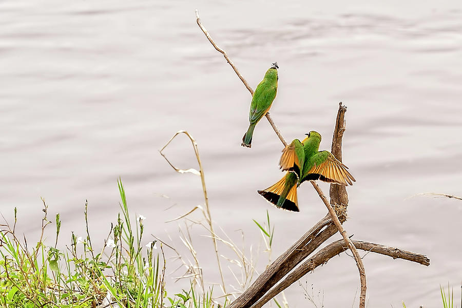 Little Bee Eaters  by Kay Brewer