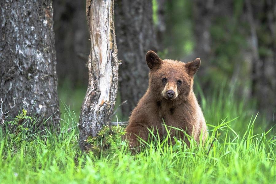 Bear Photograph - Little black bear by Russell Cody