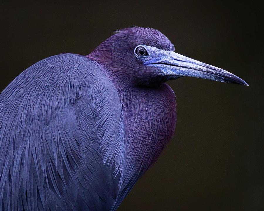 Little Blue Heron Closeup by Tim Kirchoff