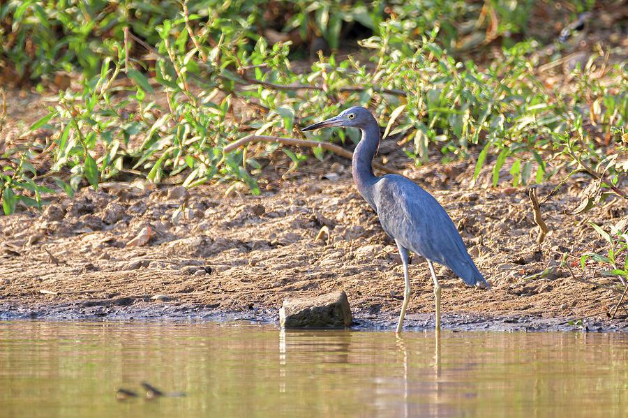 Little Blue Heron Hato Berlin Casanare Colombia by Adam Rainoff