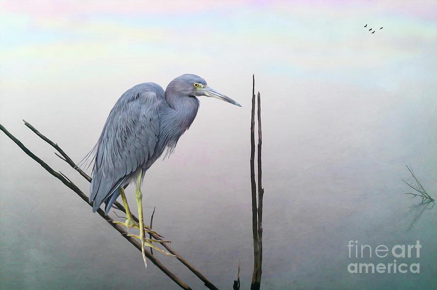 Little Blue Heron Photograph - Little Blue Heron by Laura D Young
