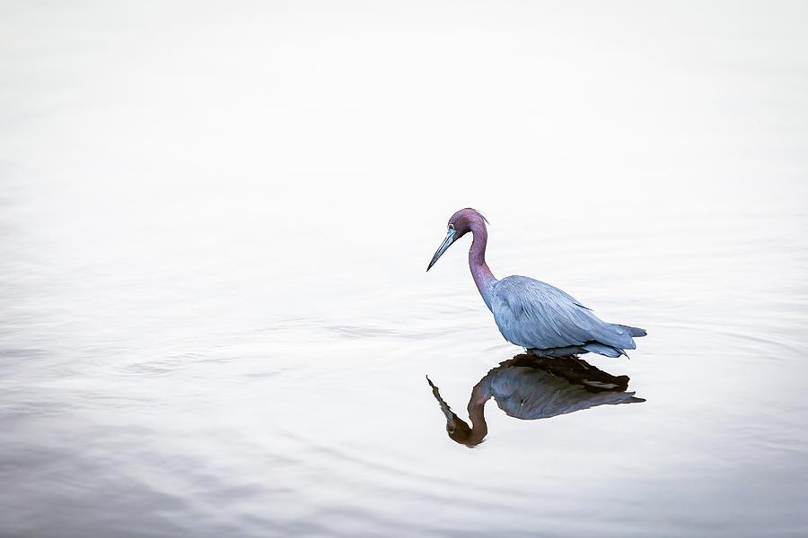 Little Blue Heron Minimalist by Tim Kirchoff