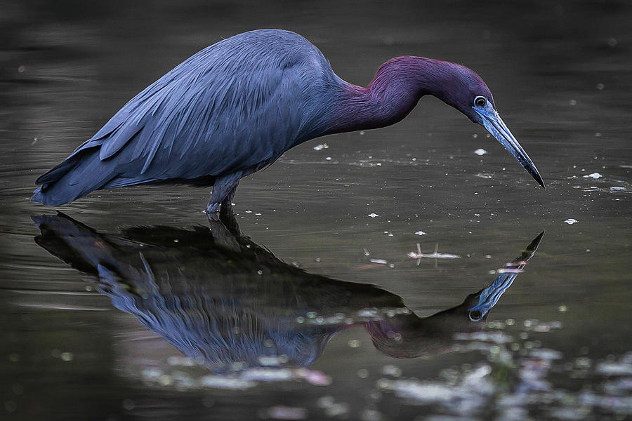 Little Blue Heron Reflection 2 by Tim Kirchoff