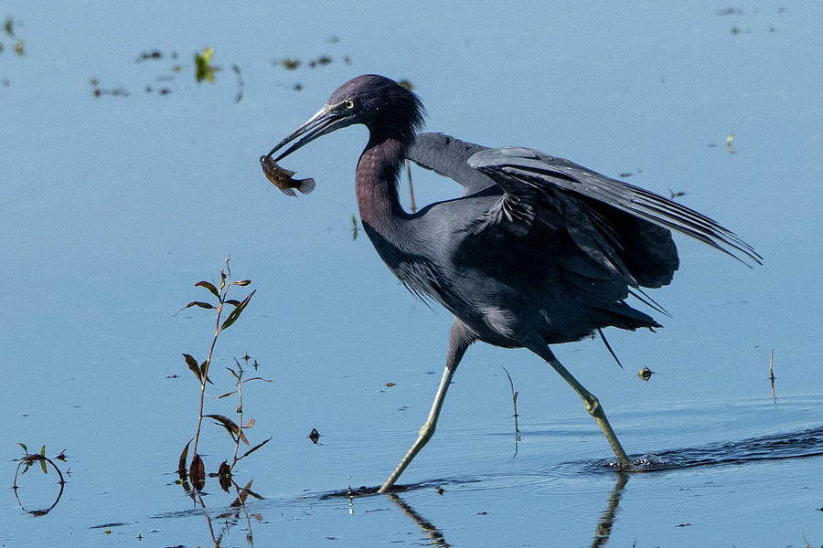 Little Blue Heron with Fish by Ken Stampfer