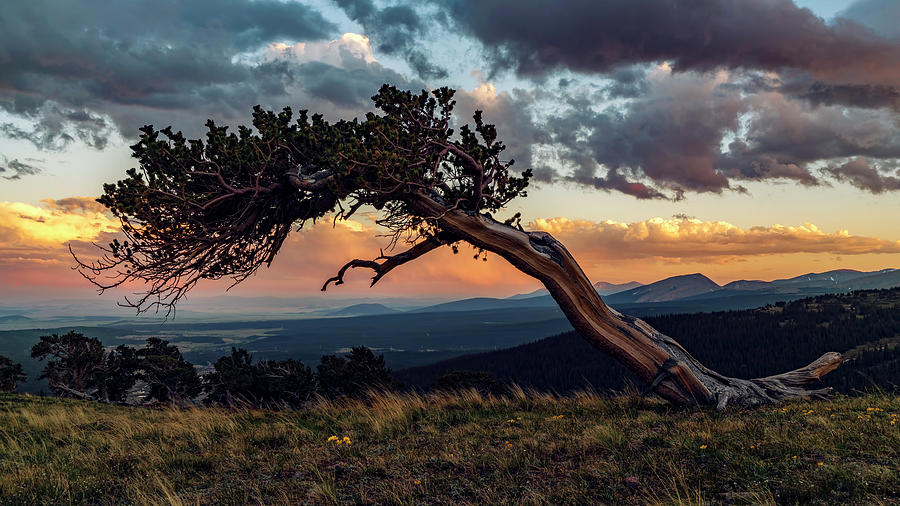 Little Bristlecone Pine at Sunset by David Soldano