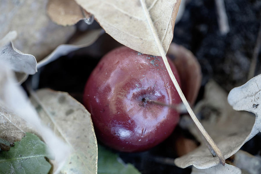 Fruit Photograph - Little Crab Apple on the Ground by Laura Smith