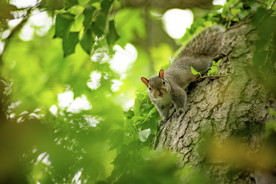 Little Eastern Gray Squirrel by Racheal Christian