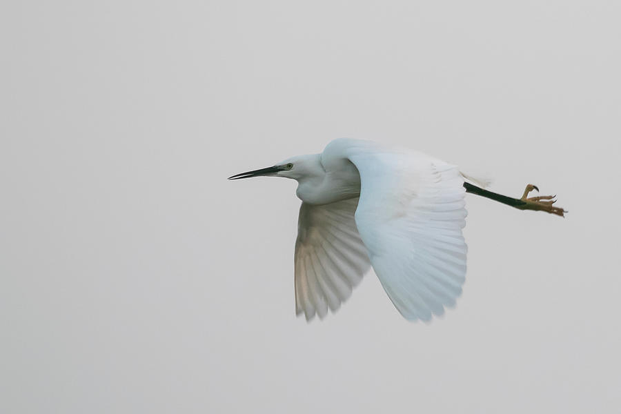 Little Egret evening Flght by Wendy Cooper
