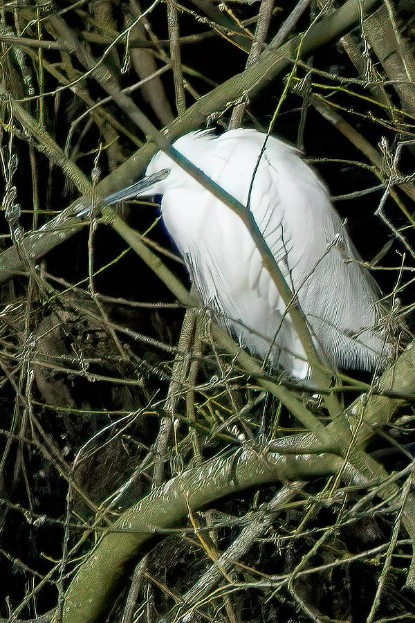 Little Egret resting by James Lamb