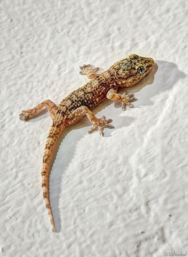 Little Gecko by Weston Westmoreland