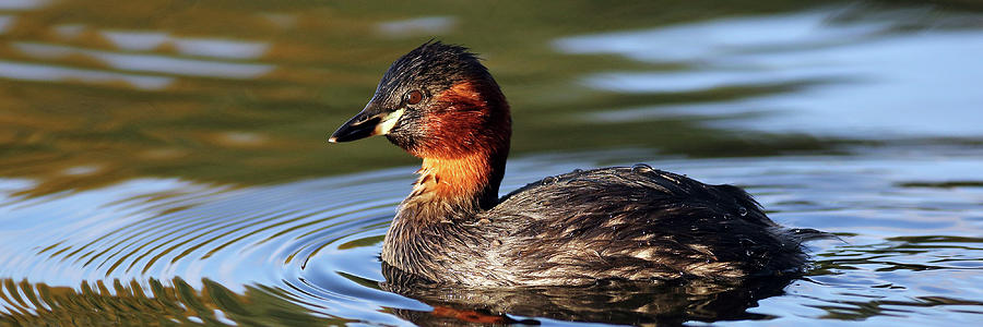 Little Grebe in pond by Grant Glendinning