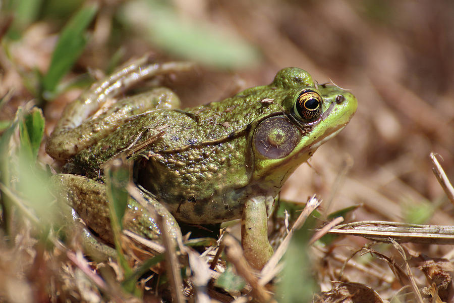 Little Green Frog by William Selander