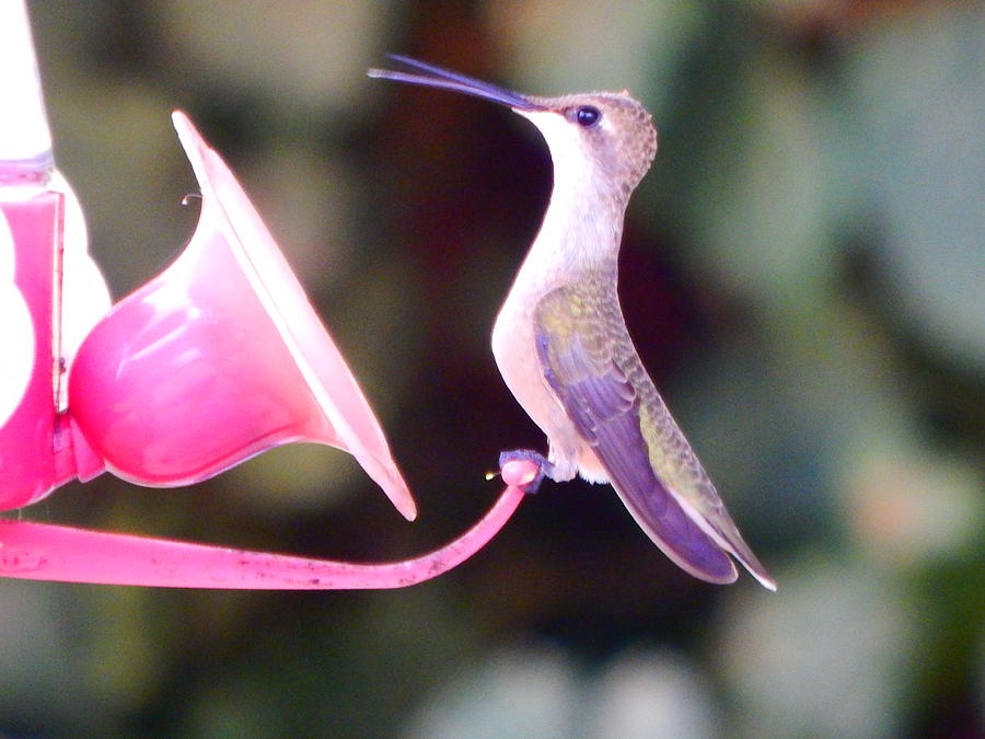 little hummer by Virginia Kay White