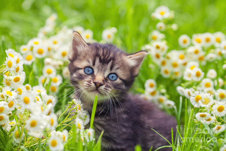 Beauty Photograph - Little Kitten In The Camomile Flowers by Vvvita