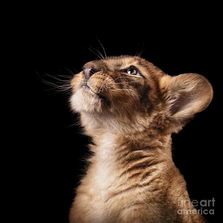 Love Photograph - Little Lion Cub In Studio On Black by Ekaterina Brusnika