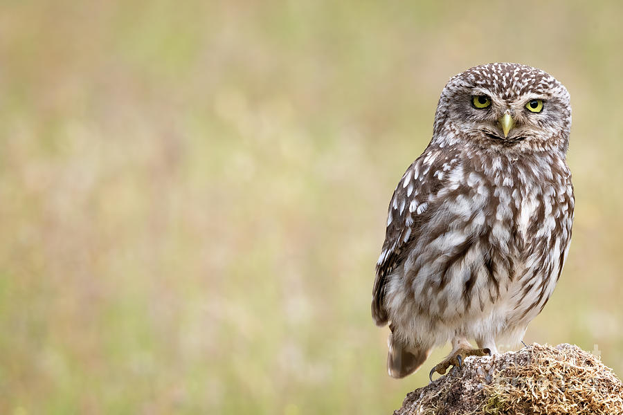Little owl by Hernan Bua