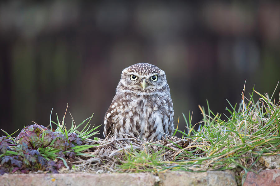 Little Owl Resting On Wall Photograph by Nick Cable