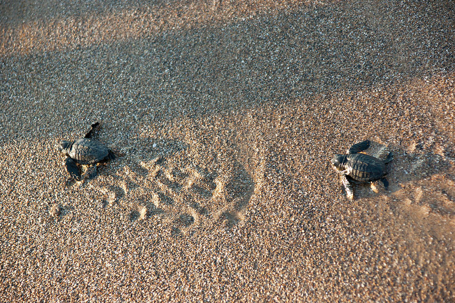 Little Turtles by Anna Kluba