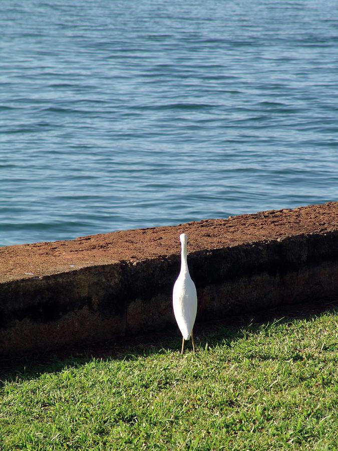 Little Photograph - Little White Egret Egretta Garzetta by Robert Braley