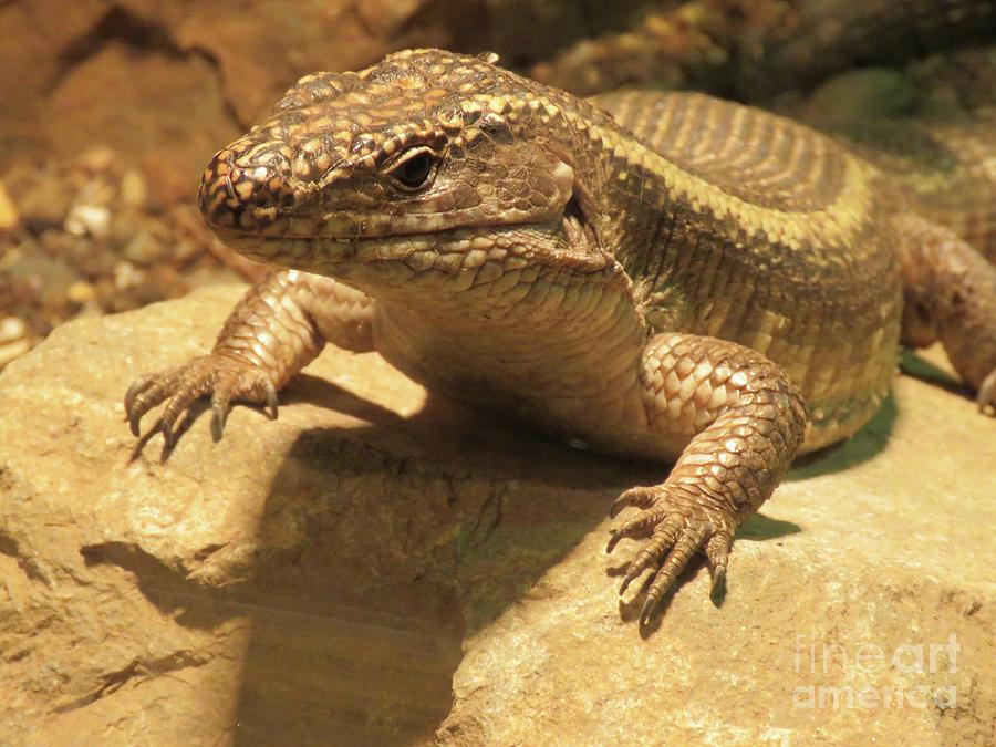 Lizard Photograph - Lizard by Mary Mikawoz