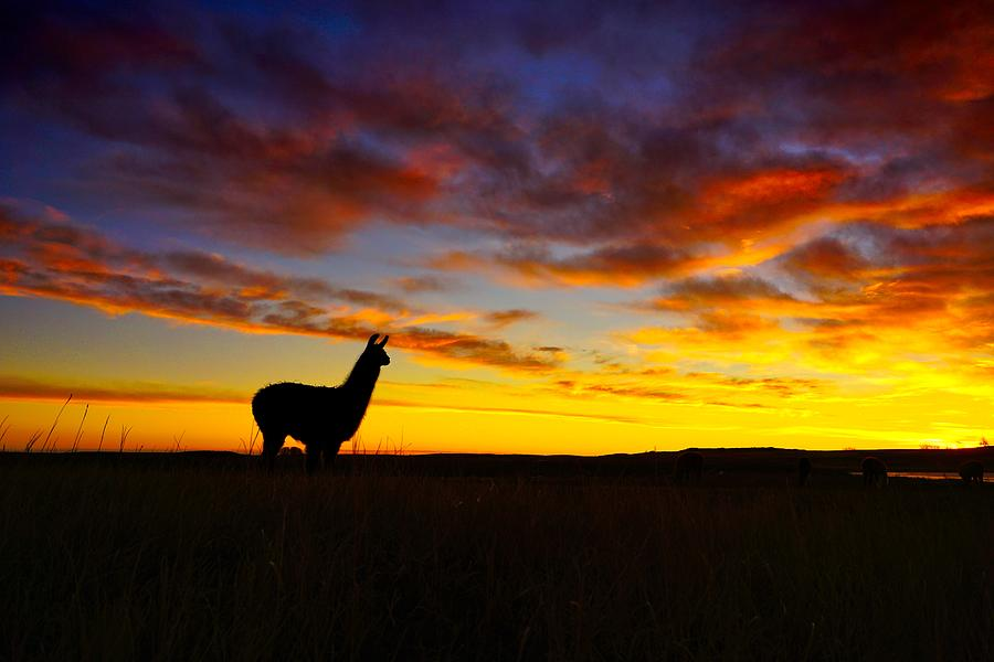 Llama at Sunrise by Bryan Smith