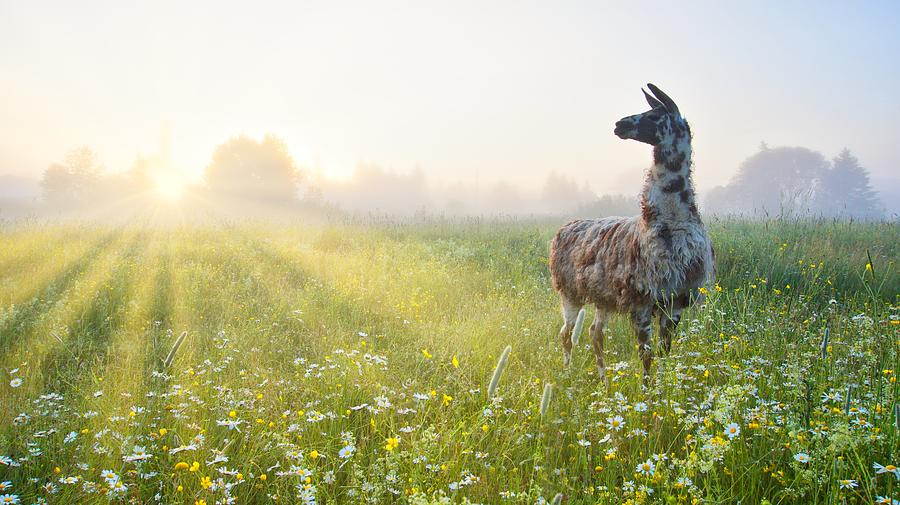 Llama morning by Bryan Smith