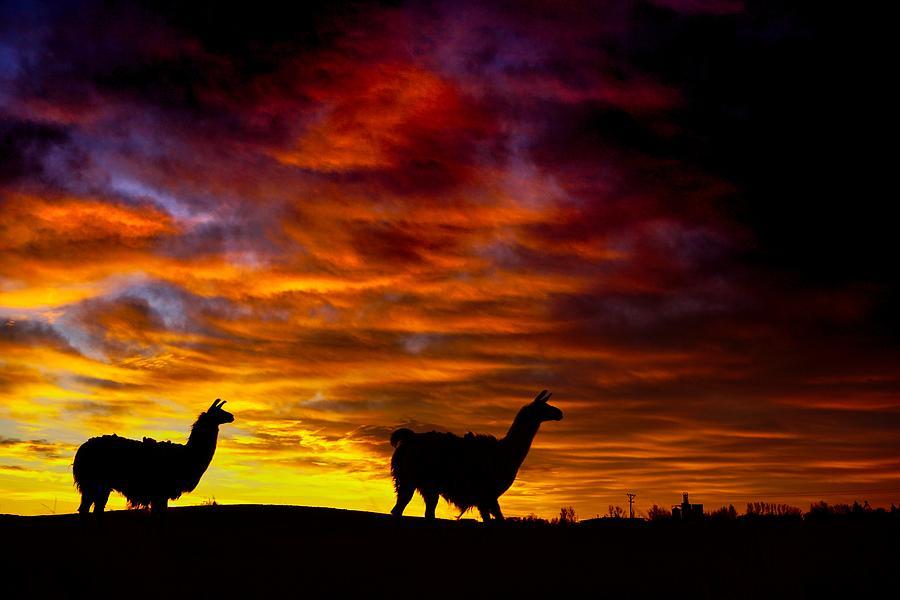 Llama Silhouette  by Bryan Smith