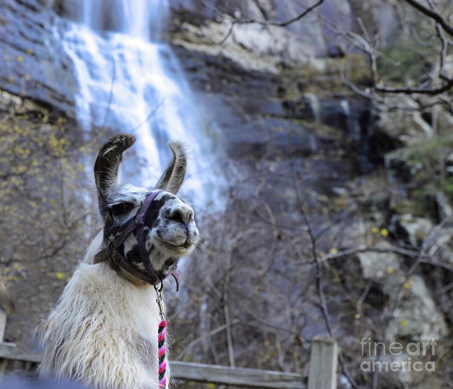 Llama Waterfall by Buddy Morrison