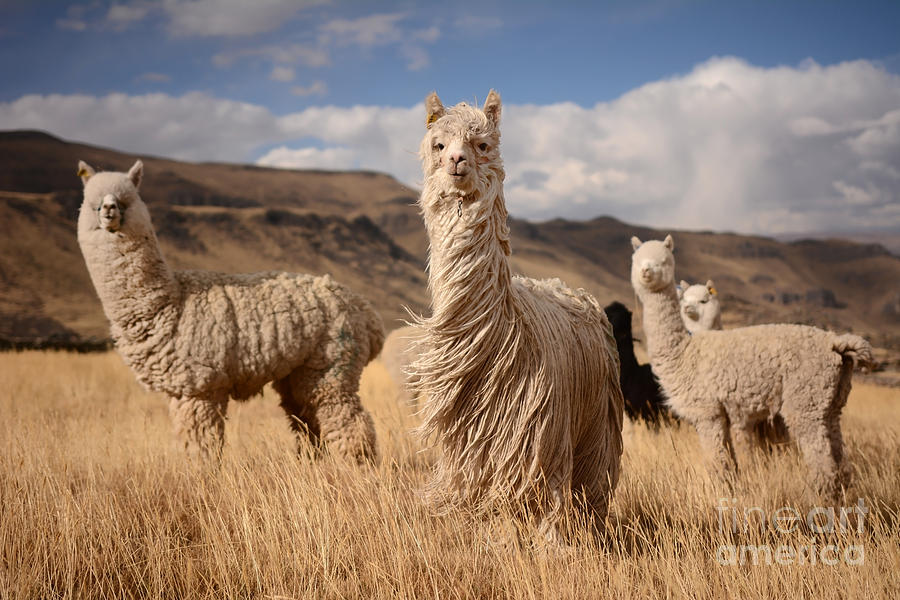 Wool Photograph - Llamas Alpaca In Andes Mountains, Peru by Pavel Svoboda Photography