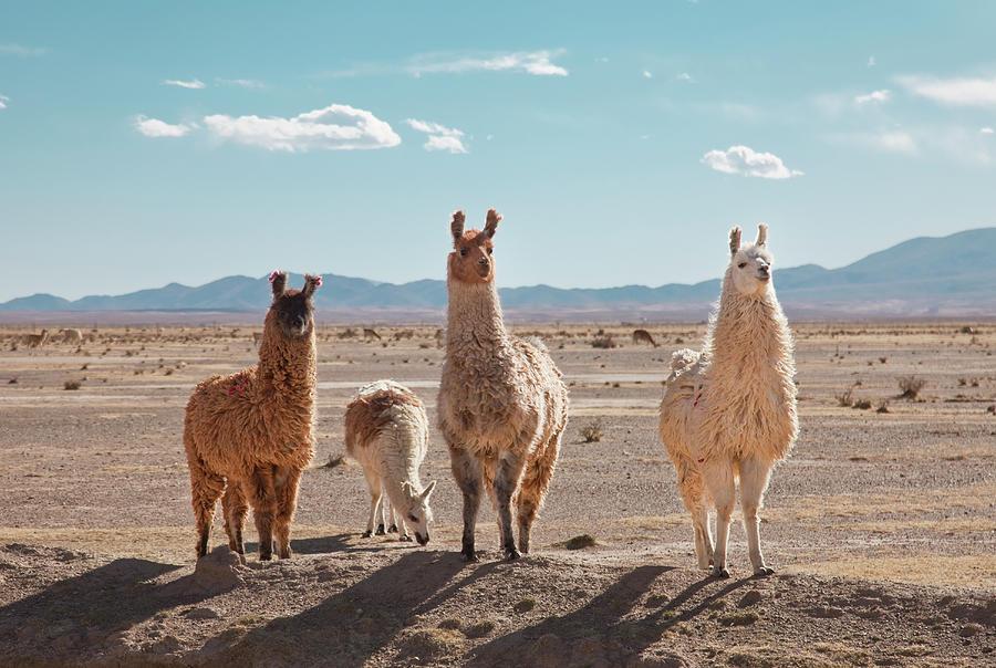 Llamas Posing In High Desert Photograph by Kathrin Ziegler