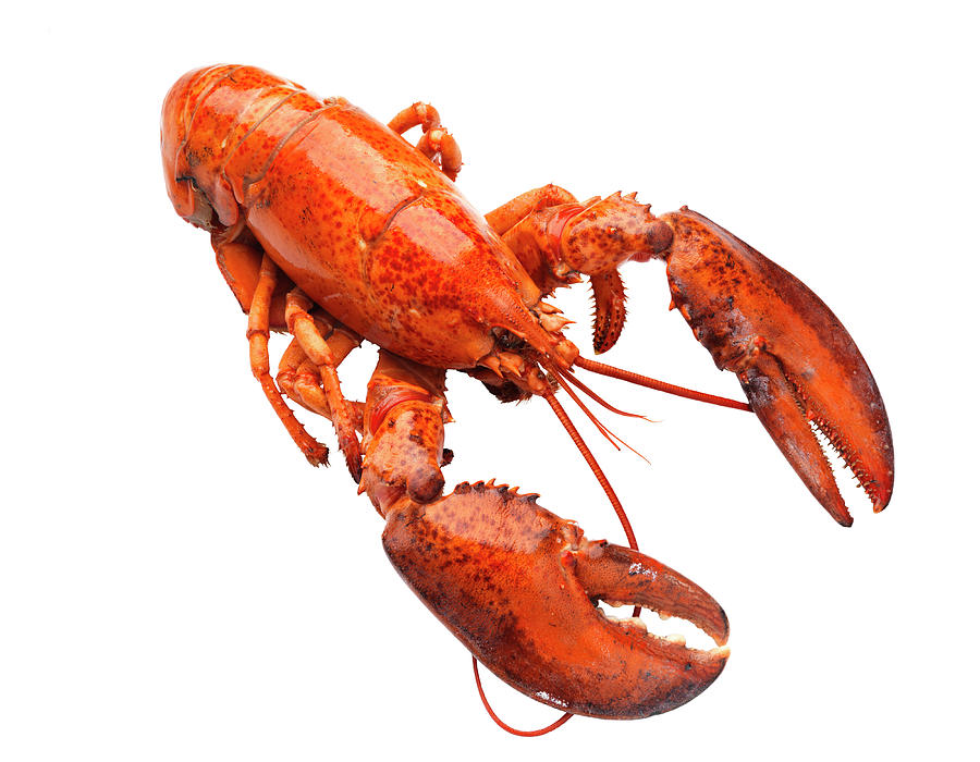 Lobster On White Background Photograph by Johner Images
