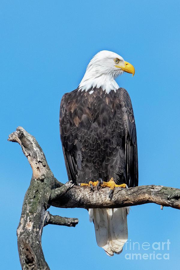 Bald Eagle Photograph - Lofty Perch by Mike Dawson