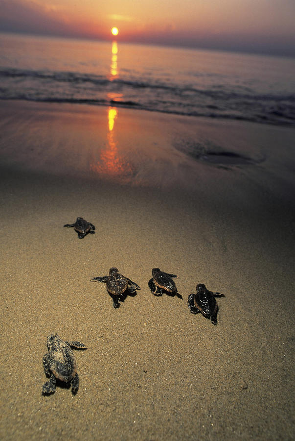 Loggerhead Turtle Hatchlings Crawl Photograph by Doug Perrine
