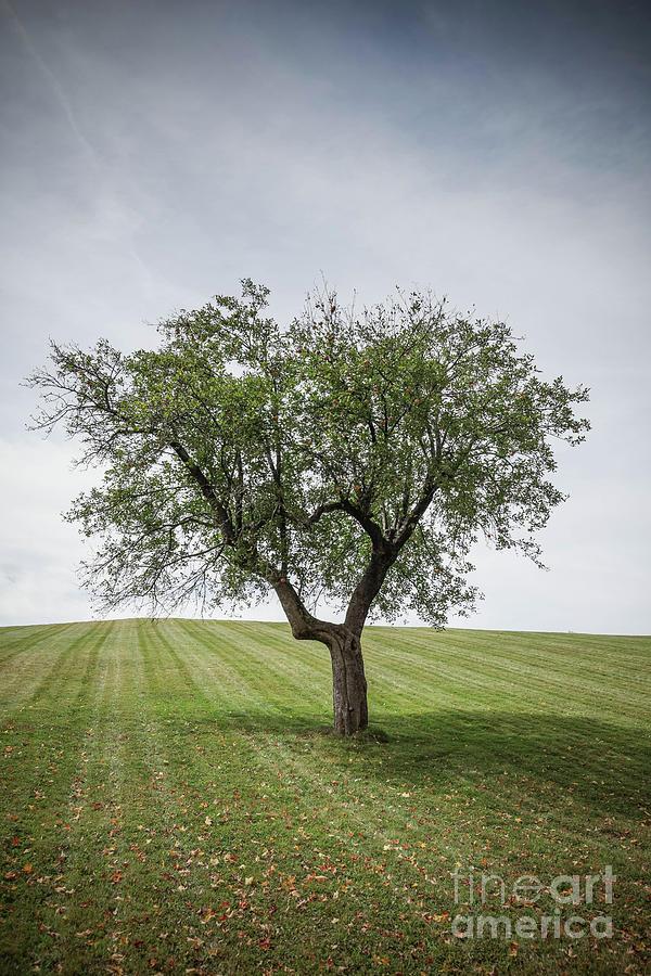 Lone Apple Tree by Edward Fielding