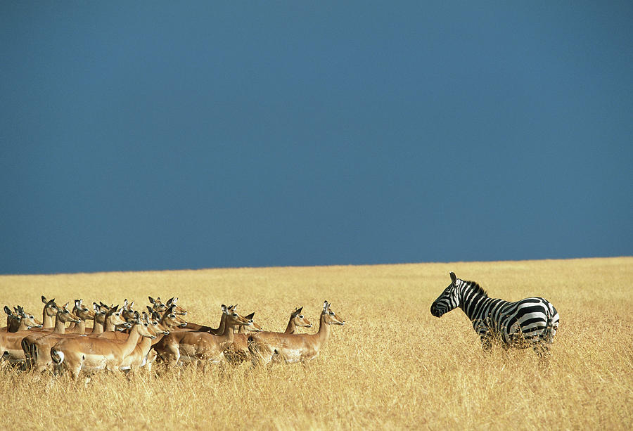 Lone Burchells Zebra And Herd Of Impala Photograph by Paul Souders
