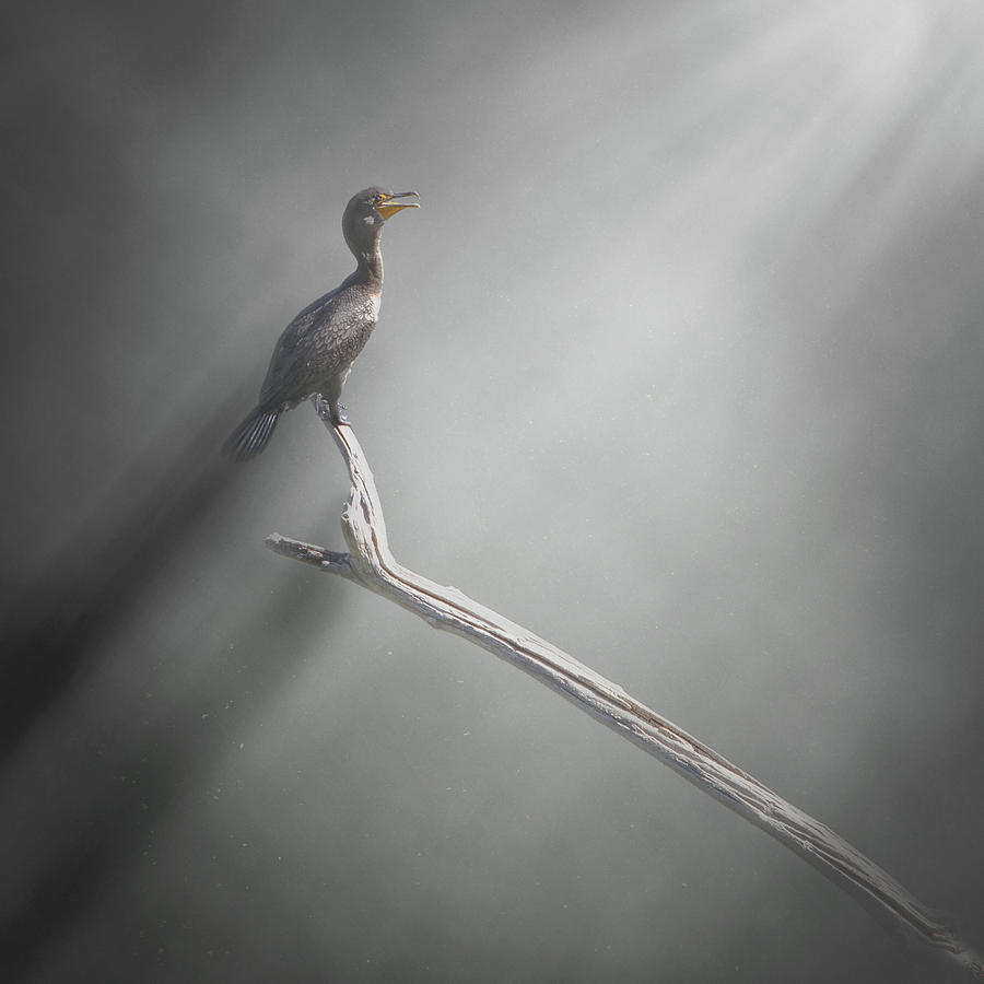 Lone Cormorant by Mike Gifford