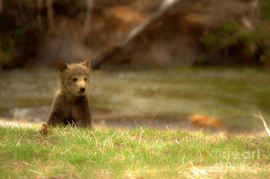Lone Grizzly Bear Cub by Adam Jewell