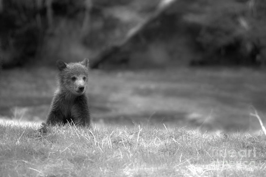 Lone Grizzly Bear Cub Black And White by Adam Jewell