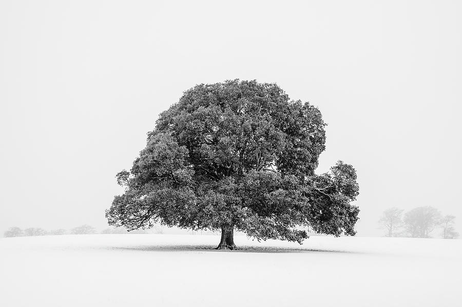 Lone Holm Oak Tree In Snow, Somerset, Uk Photograph by Nick Cable