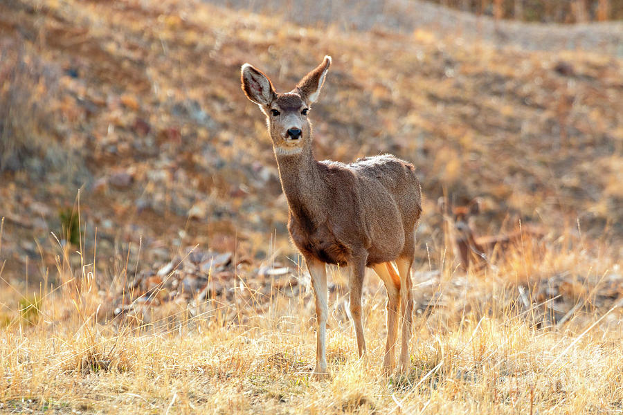 Lone Mule Deer In The Rocky Mountain Springtime Photograph