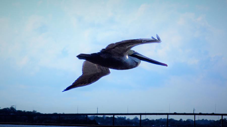Lone Pelican by Bob Mullins