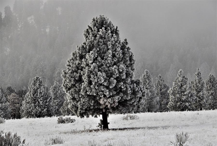 Lone Tree frosted in Meadow by Mike Helland