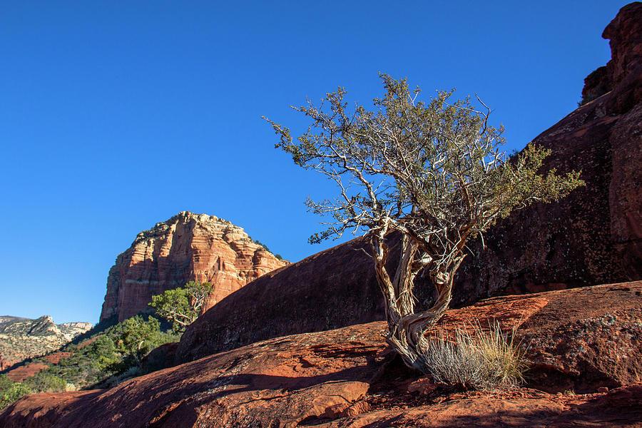 Lone Tree in Sedona  by Amy Sorvillo