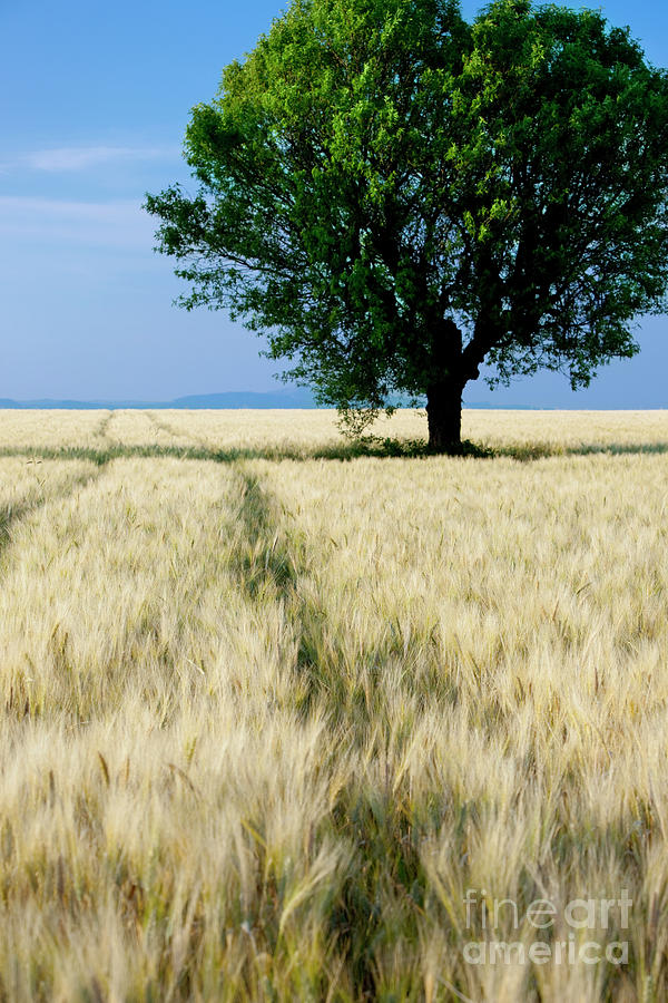 Lone Tree - Provence Photograph